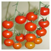 Cherry Tomato on Vine
