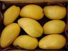 Chaunsa Mango from Zarpak Horticulture Products